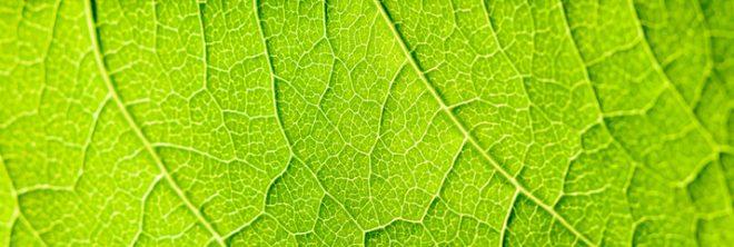 ミドリムシが緑色をしているのは葉緑体に含まれる「クロロフィル」と呼ばれる天然色素が関係している。