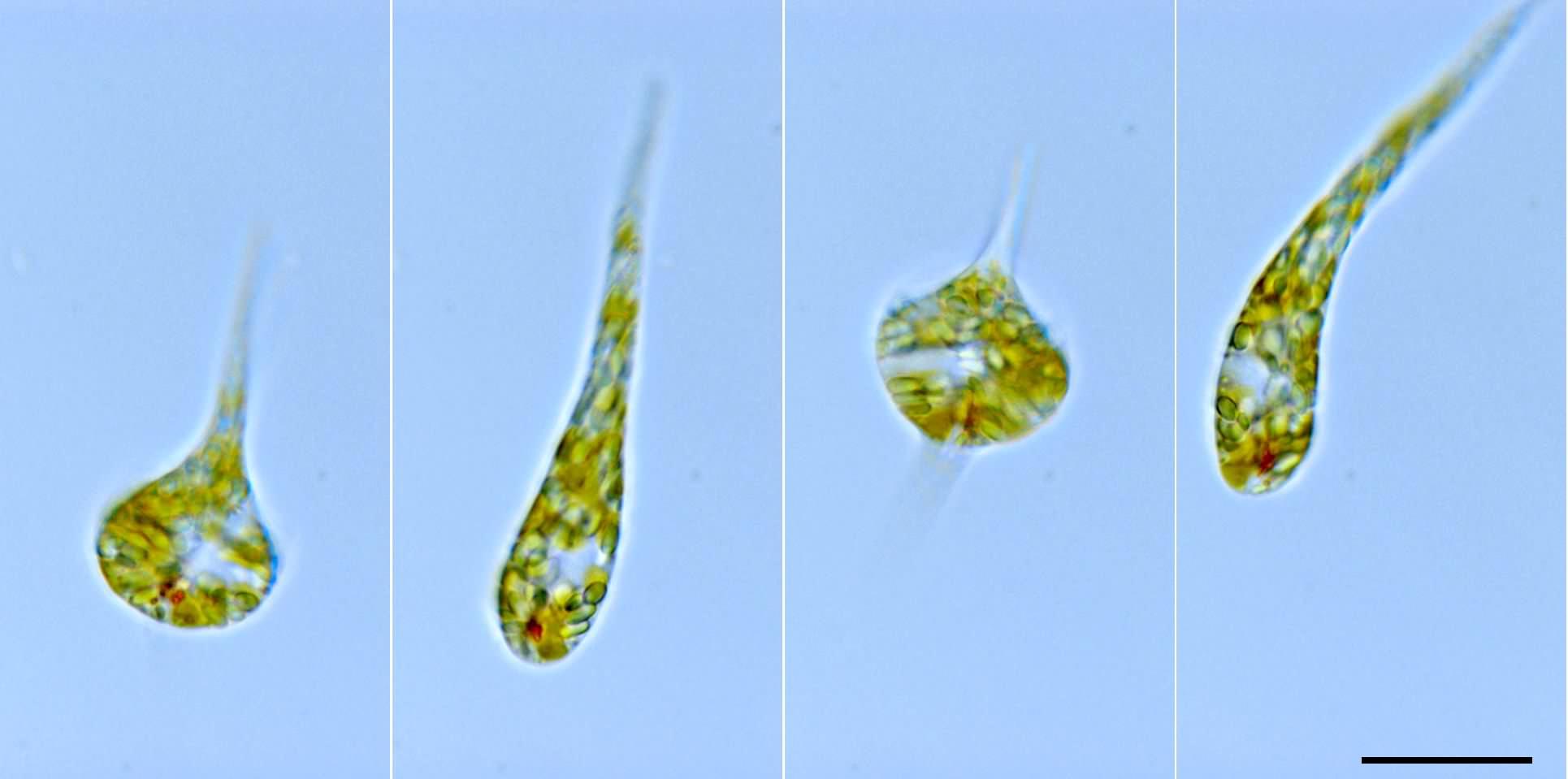 ユーグレナ運動で変形するミドリムシ