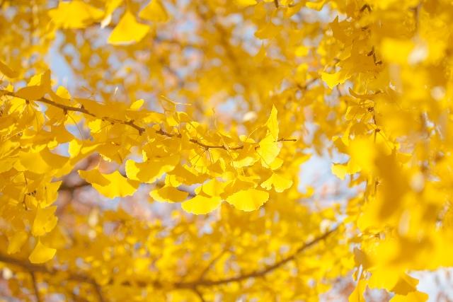 植物の葉に残ったルテインによって黄色の紅葉が見られる
