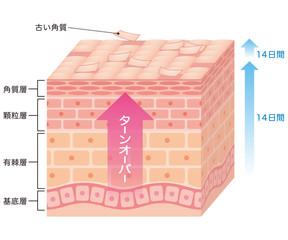 細胞の生まれ変わりを促進するのもまた、リジューナの働きとして挙げられます。 お肌の細胞を生成するためには、「コラーゲン」が欠かせません。